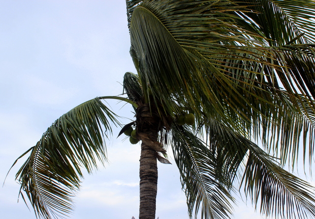 Notice the unripened coconuts.