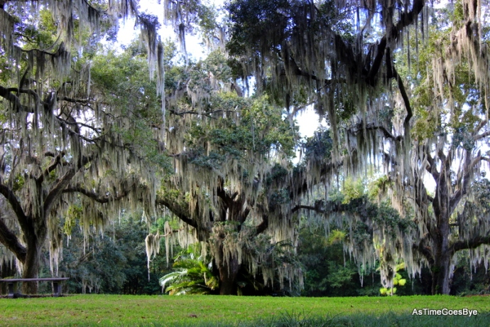 Spanish Moss draped Live Oak